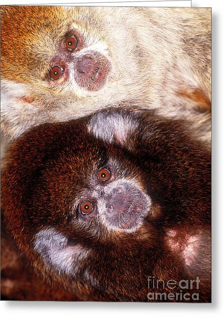 Dusky Greeting Cards - Dusky Titi Monkeys Greeting Card by Art Wolfe