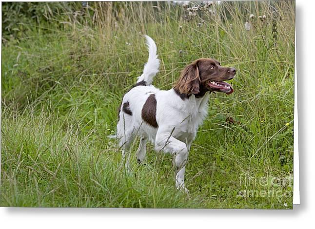 Dog Walking Greeting Cards - Dutch Partridge Dog Greeting Card by Johan De Meester