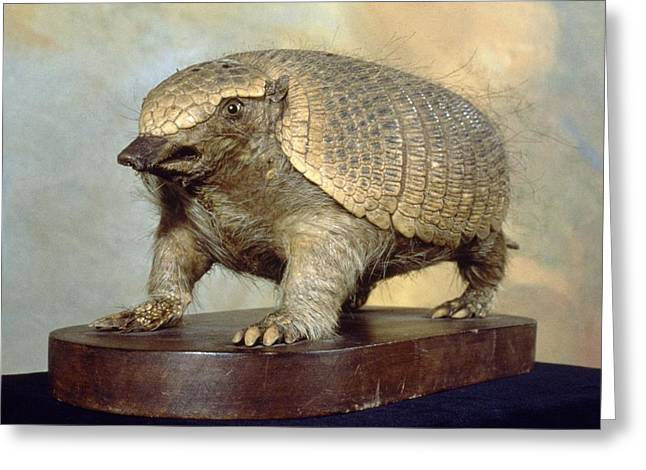 Dwarf Armadillo Greeting Card by Science Photo Library