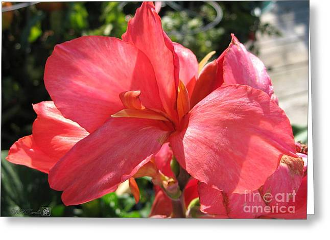 Watermelon Greeting Cards - Dwarf Canna Lily named Shining Pink Greeting Card by J McCombie