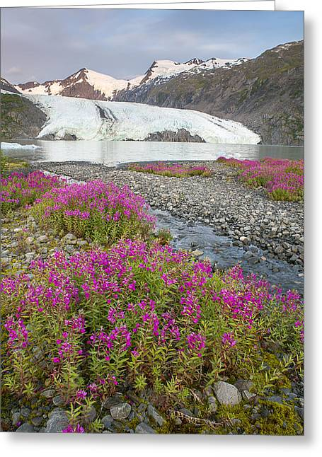 Portage Photographs Greeting Cards - Dwarf Fireweed and Portage Glacier Greeting Card by Tim Grams