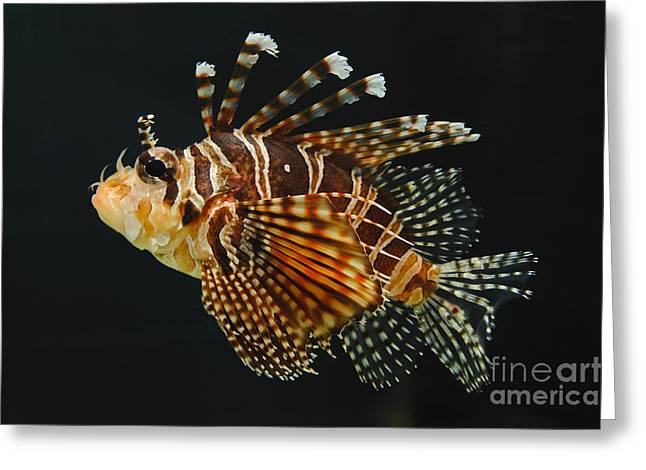 Underwater Photos Greeting Cards - Dwarf Lionfish Greeting Card by John Shaw