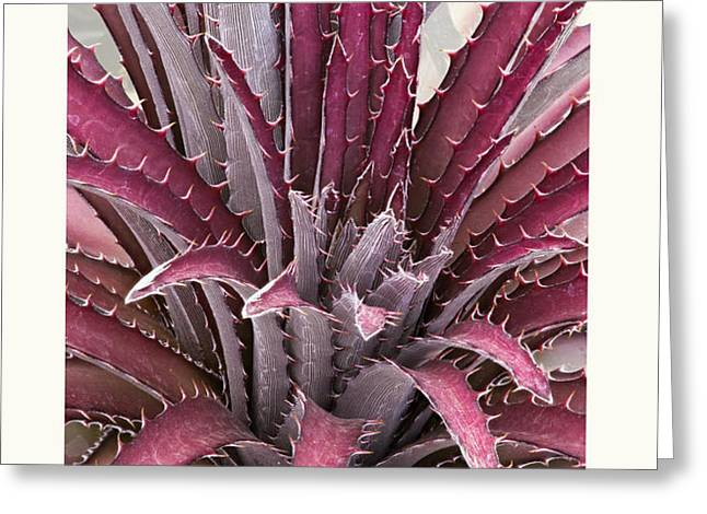 Dyckia 'Jim's Red' Greeting Card by Saxon Holt