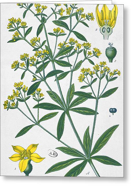 Yellow Leaves Greeting Cards - Dyers Madder Greeting Card by French School