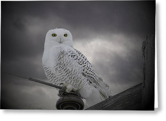 Snowy White Owl Greeting Cards - Dynamic Portrait Of A Snowy Owl Greeting Card by Thomas Young