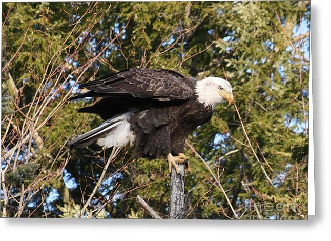 Native American Heroes Photographs Greeting Cards - Eagle 7 Greeting Card by Joseph Marquis