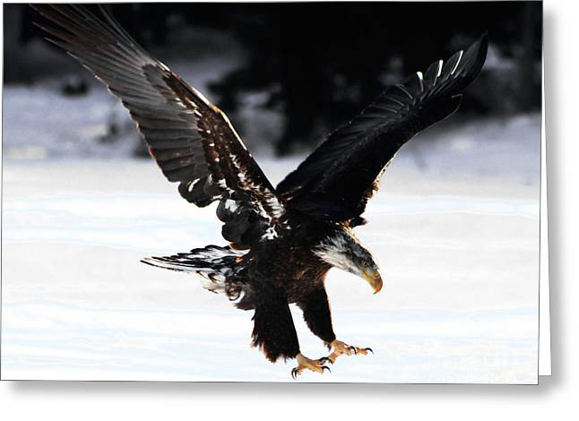 Eagle And Ice Greeting Card by Joseph Marquis
