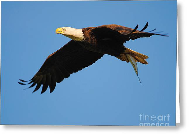 Eaglet Greeting Cards - Eagle in Flight With Fish II Greeting Card by Jai Johnson