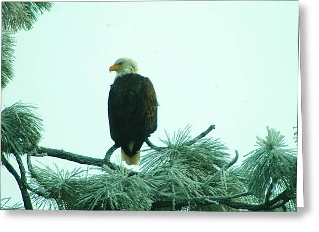 Pine Needles Greeting Cards - Eagle On A Frozen Pine Greeting Card by Jeff  Swan