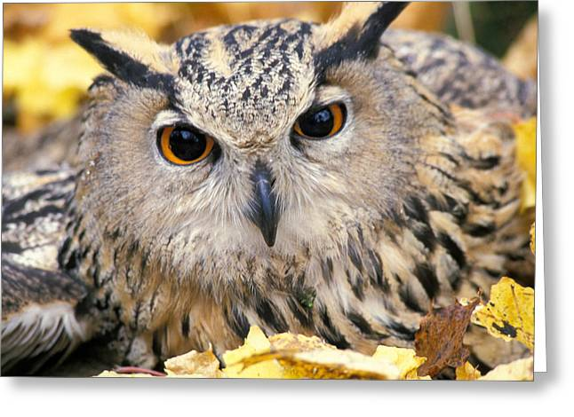 Eagle Greeting Cards - Eagle Owl Greeting Card by Anonymous