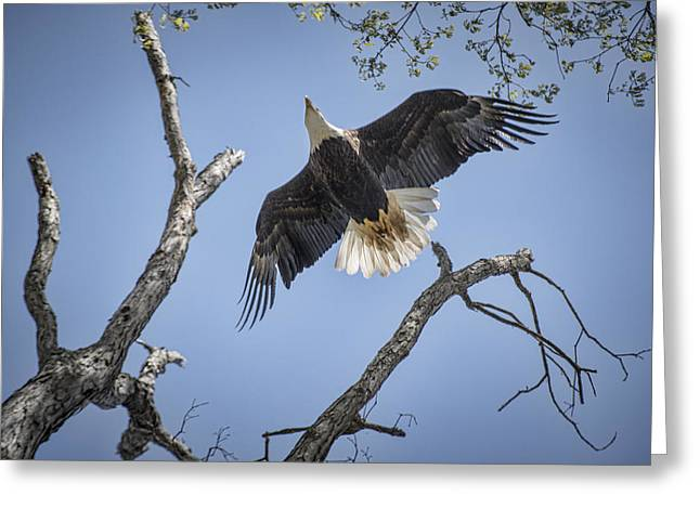 Eagle In Flight Greeting Cards - Eagle Soaring Greeting Card by Jim Pearson