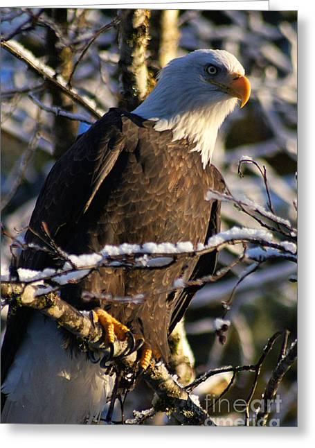 Alaska Greeting Cards Greeting Cards - Eagle Sunset Greeting Card by Stanza Widen