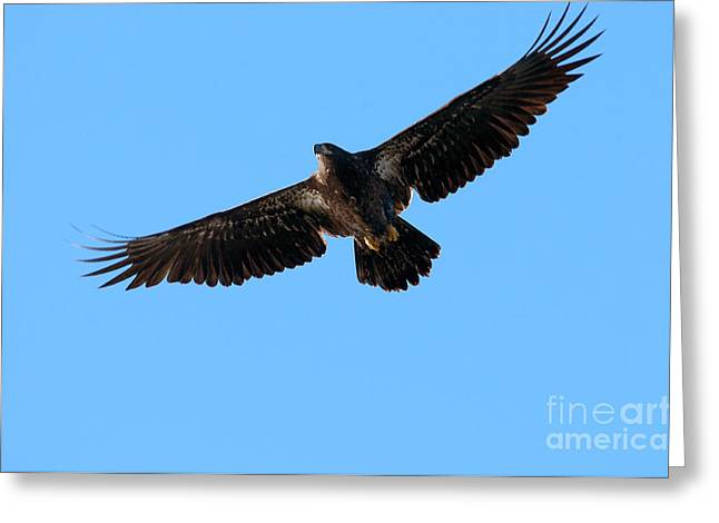 Eagle In Flight Greeting Cards - Eagle Wings Greeting Card by Sharon  Talson