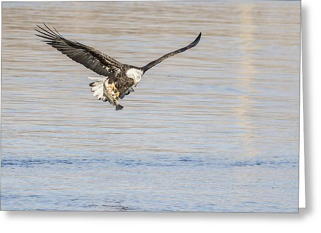 Wisconsin Fishing Greeting Cards - Eagle With Catch Greeting Card by Thomas Young