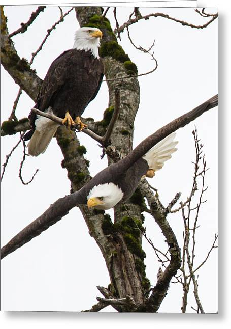 Wildlife Refuge. Greeting Cards - Eagles Greeting Card by Angie Vogel