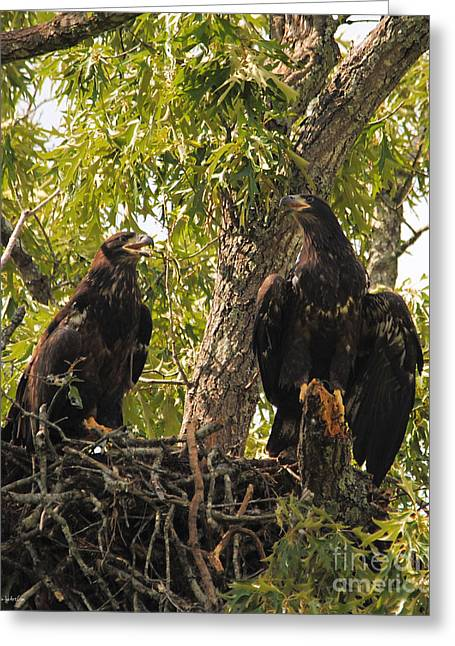 Eagle Greeting Cards - Eaglets A Final Portrait Greeting Card by Jai Johnson