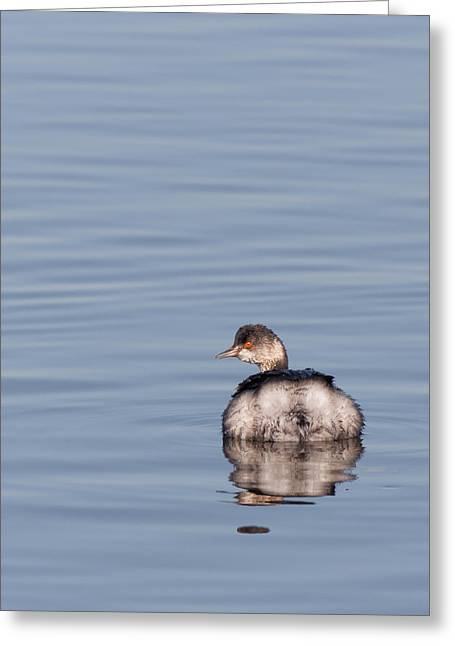 Diving In California Greeting Cards - Eared Grebe Swimming Greeting Card by Kathleen Bishop