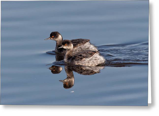 Diving In California Greeting Cards - Eared Grebes Greeting Card by Kathleen Bishop