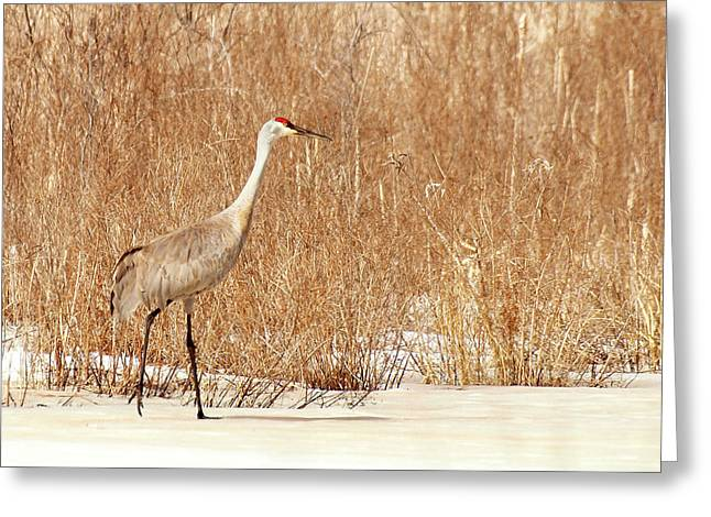 Sandhill Cranes Greeting Cards - Early Arrival Greeting Card by Thomas Young