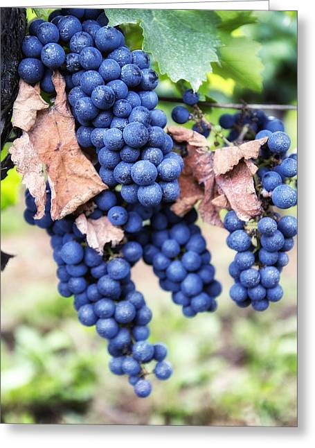 Ripe Grapes Greeting Cards - Early Autumn Grapes Greeting Card by Nomad Art And  Design