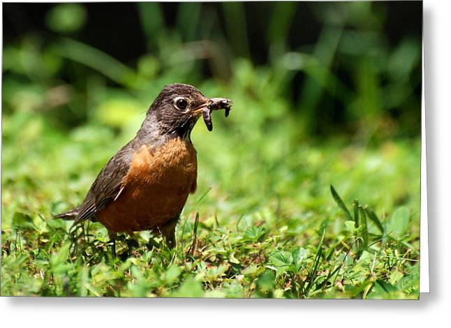 American Robin Greeting Cards - Early Bird American Robin Greeting Card by Christina Rollo