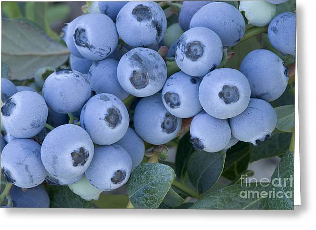 Magnoliopsida Greeting Cards - Early Blue Blueberries Greeting Card by Inga Spence