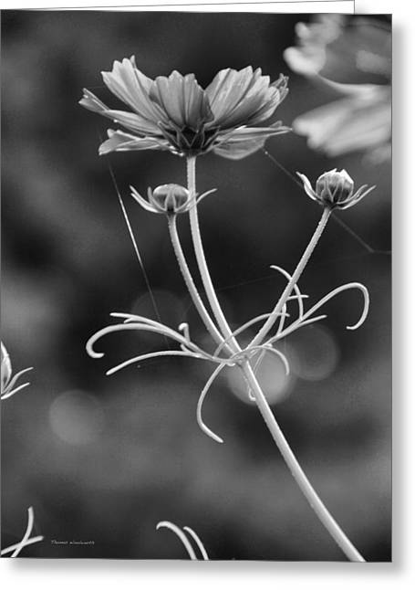 Pinks And Purple Petals Photographs Greeting Cards - Early Dawns Light On Fall Flowers V BW 01 Greeting Card by Thomas Woolworth