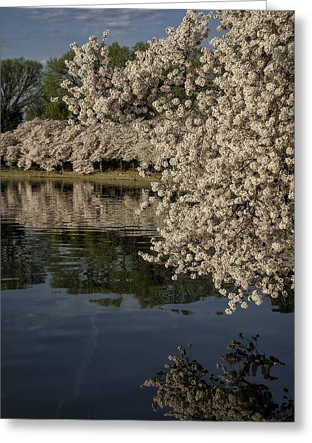 Reflection In Water Greeting Cards - Early morning Cherry Blossoms at the Tidal Basin Washington DC 138 Greeting Card by Mark Serfass