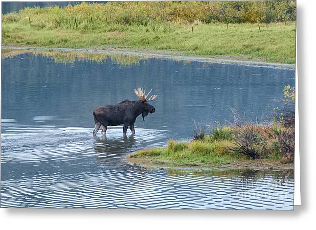 Rack Greeting Cards - Early Morning Crossing in Grand Teton Greeting Card by Sandra Bronstein