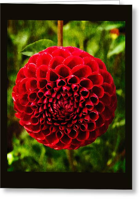 Early Morning Dahlia Greeting Card by Thom Zehrfeld