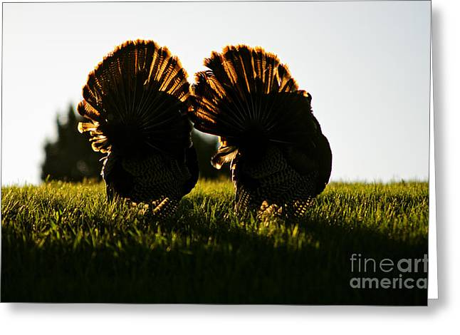 Spring Gobbler. Greeting Cards - Early Morning Strut Greeting Card by Joseph Ciferno Jr