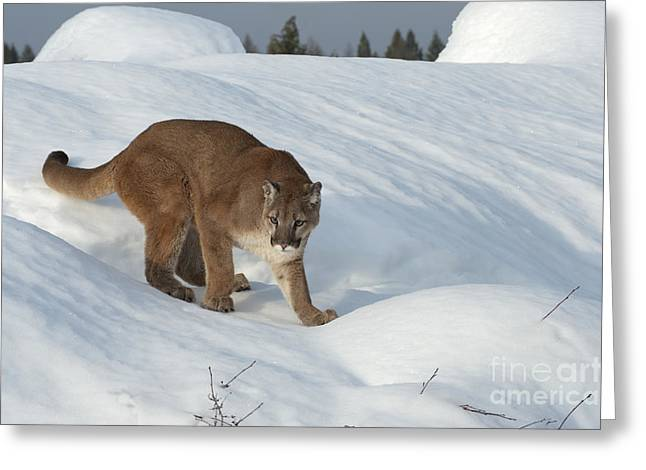 Puma Concolor Greeting Cards - Early Morning Survey Greeting Card by Sandra Bronstein