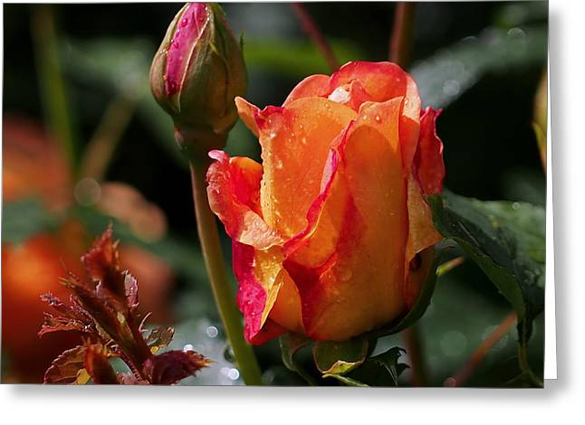 Red Rose Greeting Cards - Early Roses Greeting Card by Rona Black