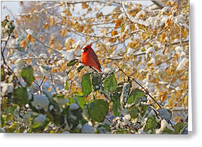 Cardinals In Snow Greeting Cards - Early Snow Greeting Card by Sandy Keeton