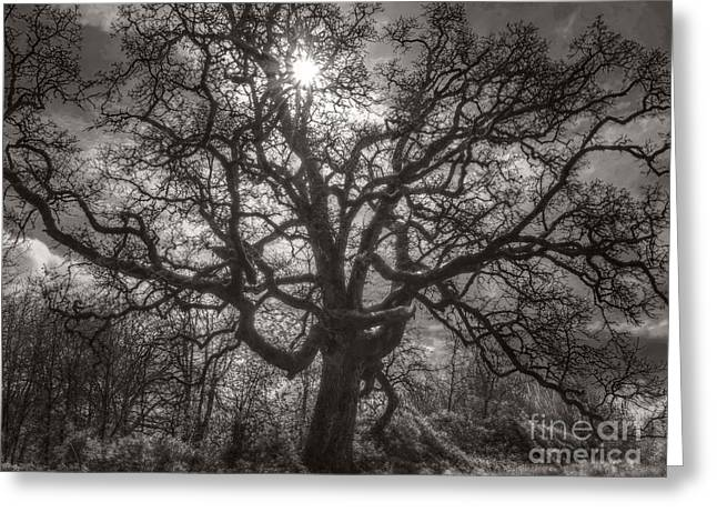 """spreading Tree"" Greeting Cards - Early Spring Oak Greeting Card by Kevin Felts"