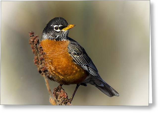 Early Spring Robin Greeting Card by Barbara Smith