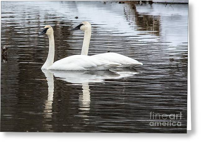 Reflections In River Greeting Cards - Early Spring Swans Greeting Card by Cheryl Baxter