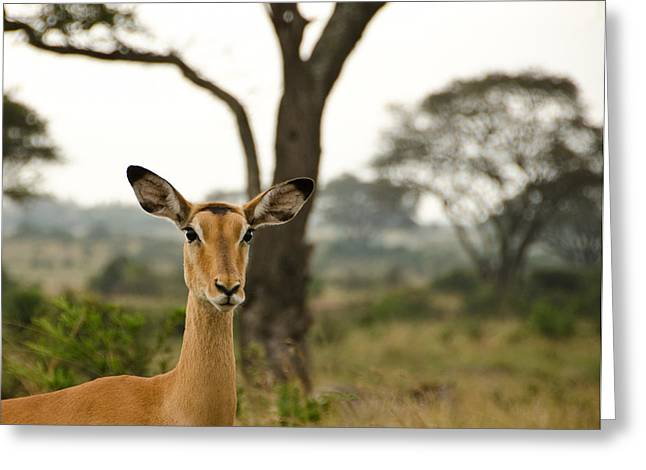 Gazelle Greeting Cards - Ears Greeting Card by Aaron S Bedell