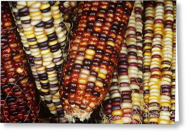 Corn Kernel Greeting Cards - Ears Of Indian Corn Greeting Card by Gregory G. Dimijian, M.D.