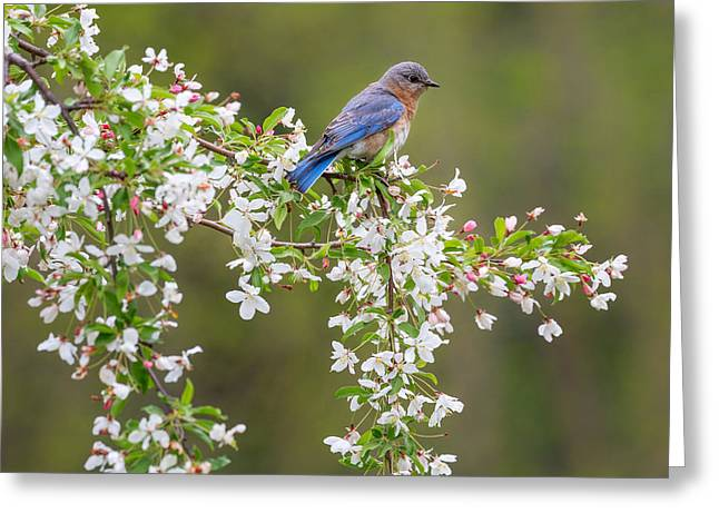 Birds With Flowers Greeting Cards - Eastern Bluebird Square Greeting Card by Bill  Wakeley
