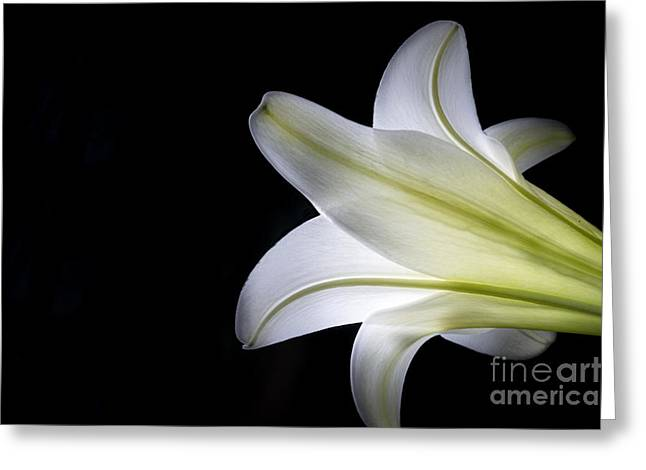 Close Focus Floral Greeting Cards - Easter Lily Petals Greeting Card by Gord Horne
