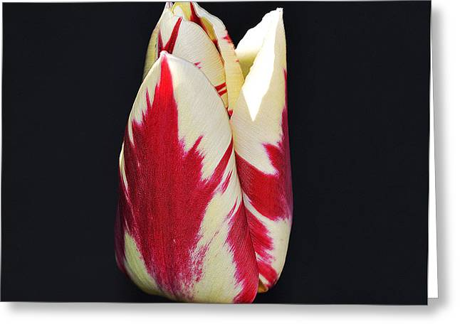The Nature Center Greeting Cards - Easter Greetings - Twinkle Tulip Greeting Card by Felicia Tica
