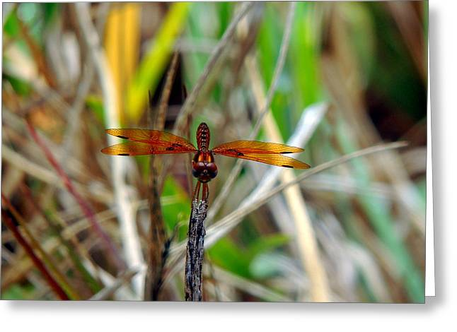 Amberwing Greeting Cards - Eastern Amberwing Greeting Card by Kevin Johnson Rapuano