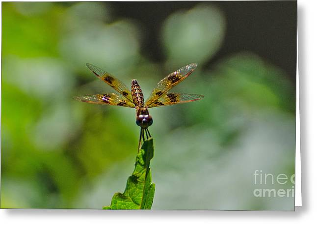 Amberwing Greeting Cards - Eastern Amberwing  Male Greeting Card by Donna Brown