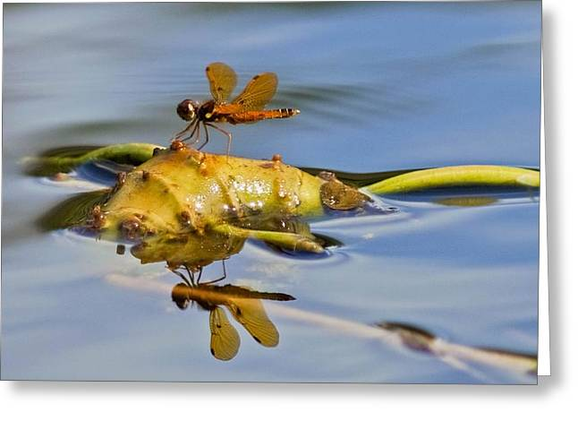 Amberwing Greeting Cards - Eastern Amberwing Reflection Greeting Card by Tiffany PhotographyFL
