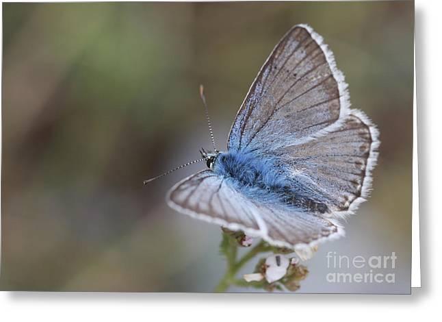 Eastern Baton Blue  Greeting Card by Amos Dor