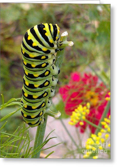 Pupa Greeting Cards - Eastern Black Swallowtail Caterpillar on Fennel Greeting Card by Anna Lisa Yoder