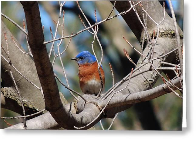 Eastern Blue Bird Greeting Card by Kaustav Sharma