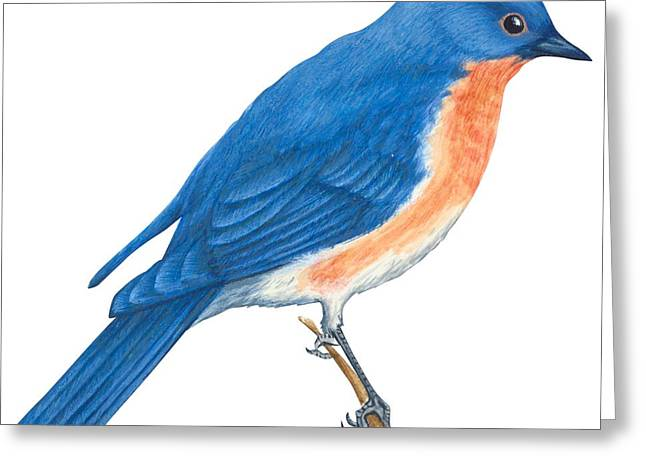 White Background Drawings Greeting Cards - Eastern bluebird Greeting Card by Anonymous