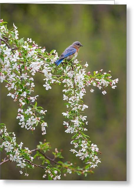 Birds With Flowers Greeting Cards - Eastern Bluebird Greeting Card by Bill  Wakeley